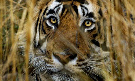 Bengal Tiger in Rhanthambhore National Park, taken by J. Scott Applewhite
