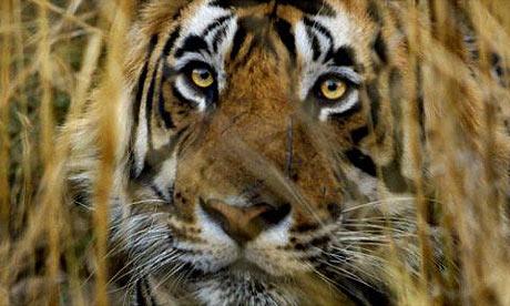 Bengal Tiger in Rhanthambhore National Park, taken by J. Scott Applewhite