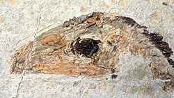 Sinosauropteryx, fossil with protofeathers