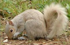 white, non-albino squirrel
