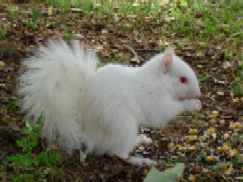 squirrel, albino squirrel