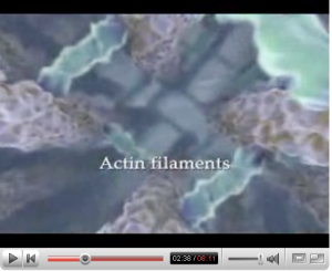 actin filaments in \