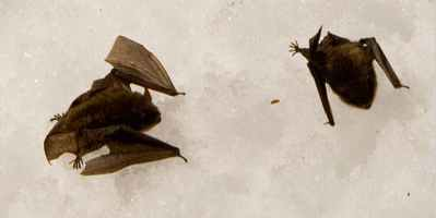 dying bats on snow