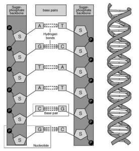 segment of DNA molecule, ladder
