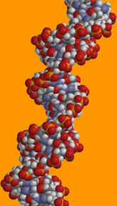 segment of DNA molecule, double helix