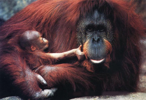 Orang-utan mother and baby