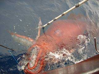 colossal squid being caught