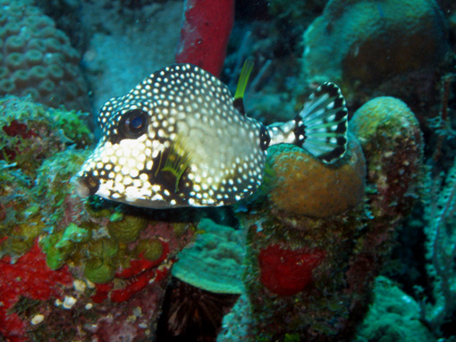 smooth trunkfish from Honduras