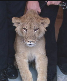 lion cub, 6 months old, back in captivity