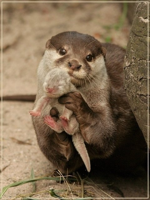 otter with baby