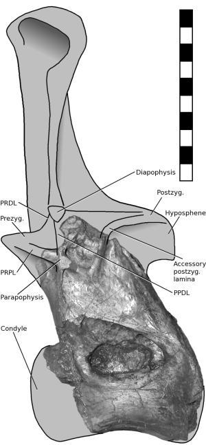 xenopoiseidon vertebra fragment