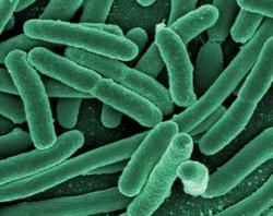rod-shaped bacteria, possibly E. coli