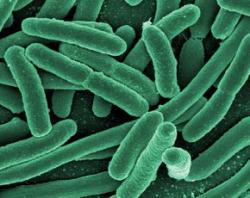 rod-shaped bacteria, possibly E. coli