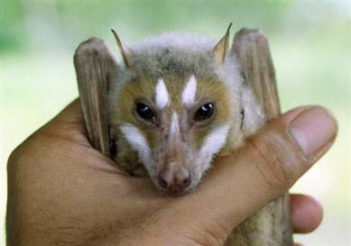 Styloctenium mindorensis, a newly discovered fruit bat from Mindoro