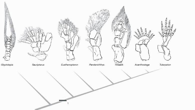 homologies in fish and tetrapod limbs