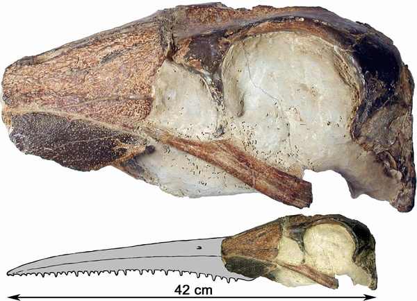 Skull of <i>Dasornis emuinus</i> with projected beak