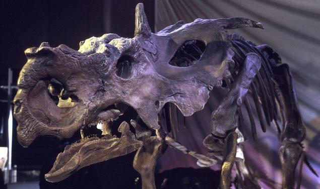 <i>Pachyrhinosaur lakustai</i>