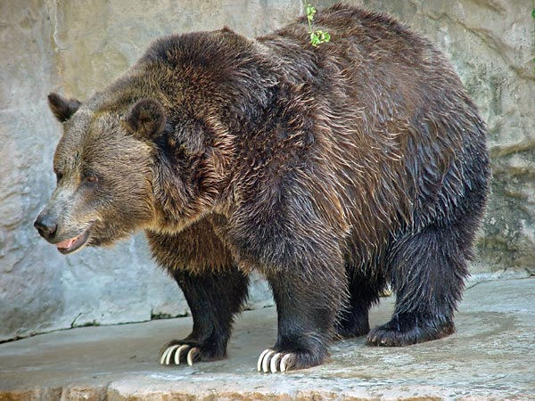 McCain's Beef with Bears?—Pork - Scientific American