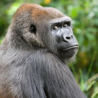 gorilla-looking