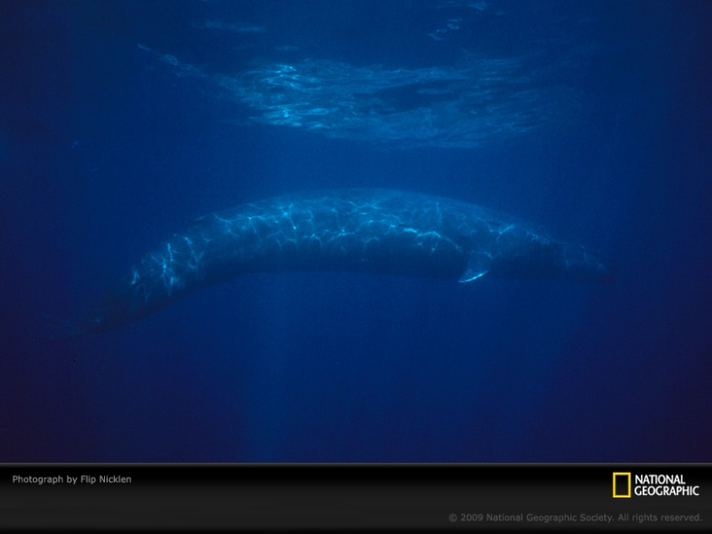 Blue whale photographed by Flip Nicklen