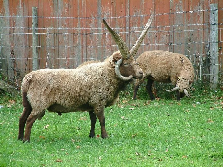 Manx Loaghtan sheep, from the Isle of Man, have 4 – 6 horns