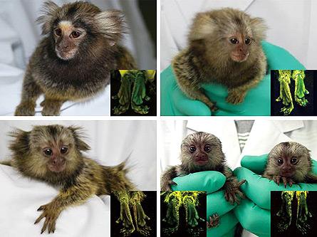 transgenic-marmosets