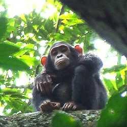 Bili-ape-hicks