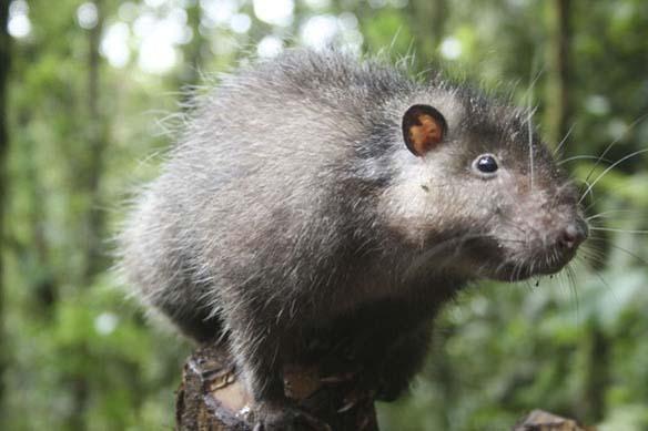 Bosavi wooly rat, 3 kg