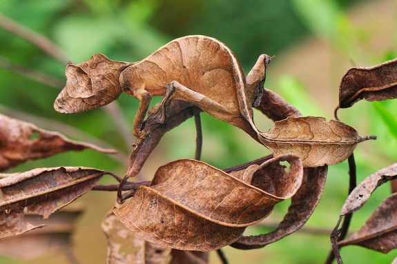 a small lizard among rubbery brown leaves looks like a leaf itself