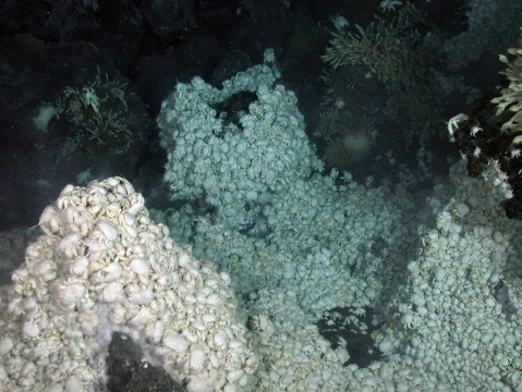 small, rounded white crab climbing into piles like pyramids