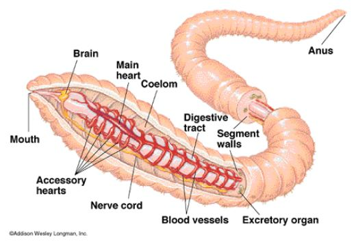 Earthworm Circulatory System 3d on Earthworm Dissection