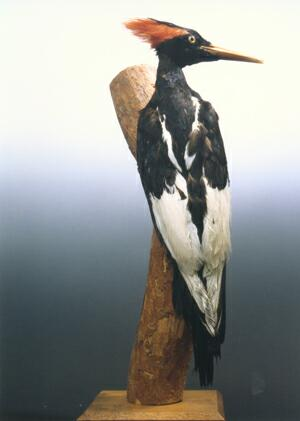 Large, stuffed black and white woodpecker with red crest
